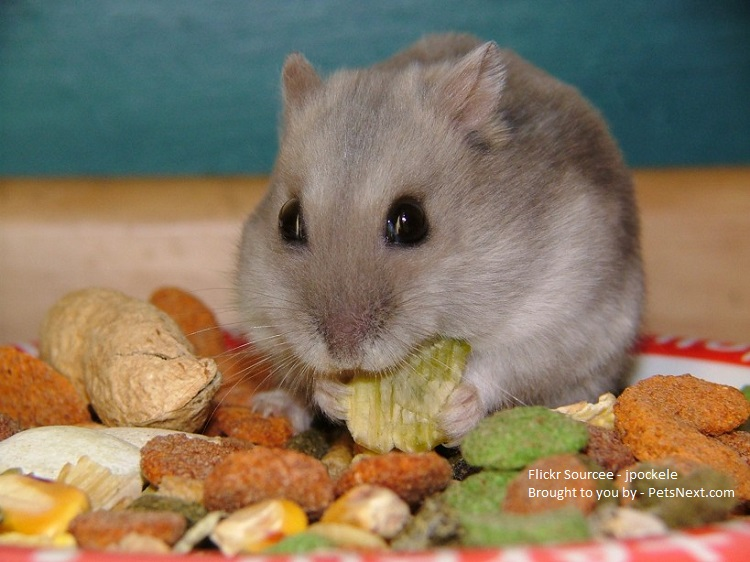 Food for hamster