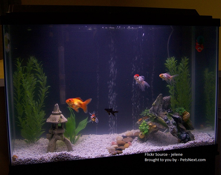 Goldfish cleaned tank