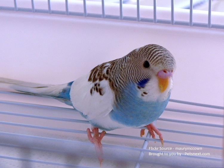 american-parakeet-