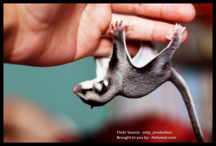 sugar-glider-squirrel